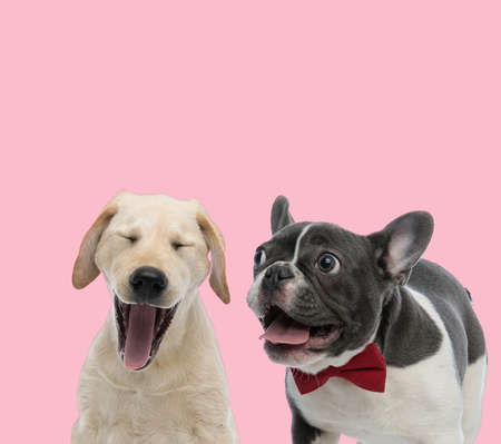 team of labrador retriever and french bulldog panting and sticking out tongue on pink background