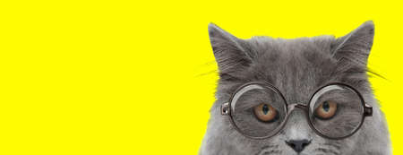 suspicious british long hair cat wearing glasses on yellow background