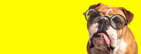 sleepy english bulldog puppy wearing glasses and sticking out tongue on yellow background Imagens