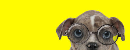 curious american bully dog wearing glasses and looking shy on yellow background