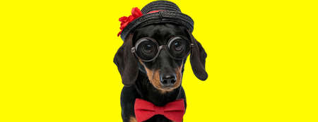 adorable teckel dachshund dog wearing bowtie, glasses and hat on yellow background Imagens