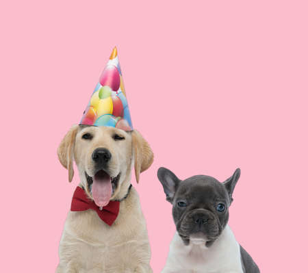 team of labrador retriever and french bulldog wearing birthday hat and red bowtie on pink background