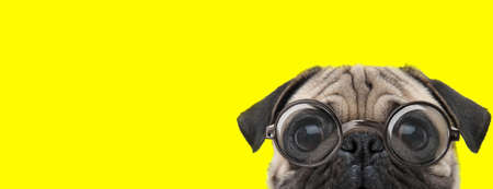 timid pug dog with big eyes wearing glasses and hiding on  yellow background