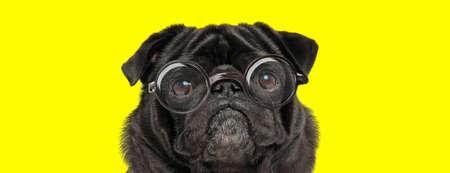 sad pug doggy wearing glasses on yellow background