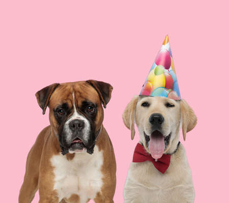 team of boxer and labrador retriever wearing birthday hat and bowtie on pink background