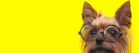 timid yorkshire terrier puppy wearing glasses and pink bow, looking to side on yellow background Imagens