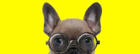 timid french bulldog puppy with big eyes wearing glasses and hiding on yellow background