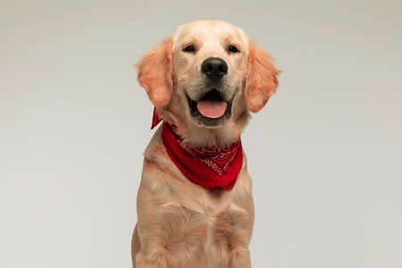 adorable golden retriever dog wearing a red bandana, looking at the camera with his tongue exposed on gray background