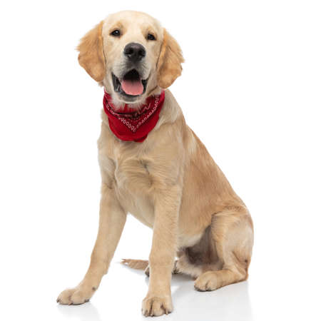 happy golden retriever dog sitting and sticking his tongue out at the camera, wearing a red bandana Stockfoto