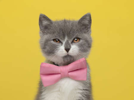 beautiful british shorthair metis cat is feeling disgusted by something and wearing a pink bowtie on yellow background