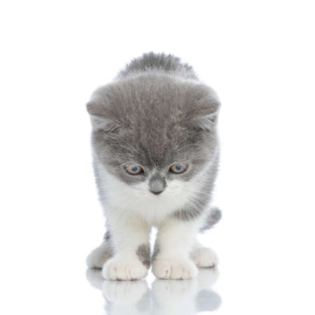 british shorthair cat is surprised to see her own reflection, standing against white background