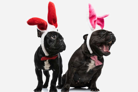 two cute french bulldog dogs laughing out loud and feeling excited, wearing bunny ears