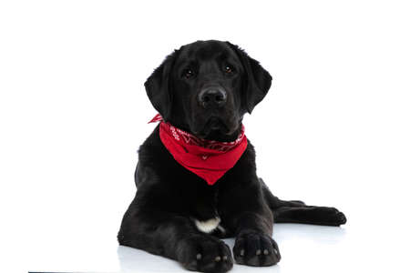 cute labrador retriever dog looking at camera, lying down and wearing a red bandana on white background