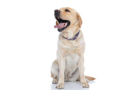 adorable labrador retriever dog laughing out loud and wearing a purple leash against white background