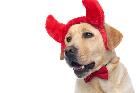 side view of a cute labrador retriever dog wearing devil horns and bowtie on white background