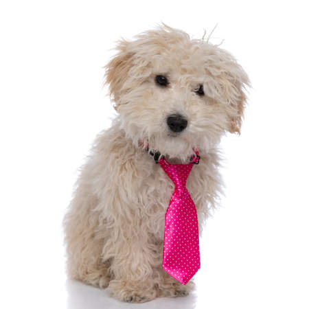 little caniche dog wearing a pink tie, looking at the camera and standing against white background
