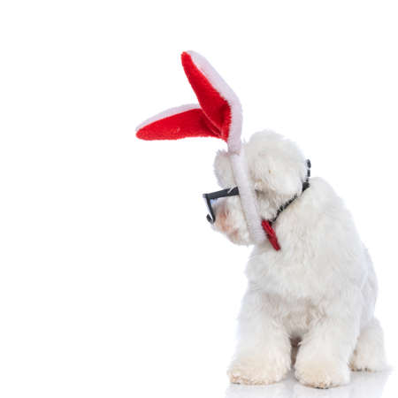 cute bichon dog looking to his side while wearing sunglasses and bunny ears on white background