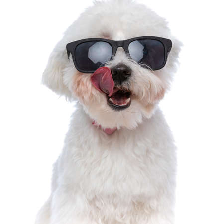 portrait of a beautiful bichon dog licking his mouth and wearing sunglasses on white background