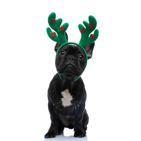 adorable little reindeer frenchie puppy wearing green christmas headband and sitting isolated on white background in studio