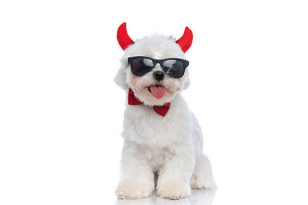 seated happy bichon dog sticking out his tongue at the camera and wearing devil horns