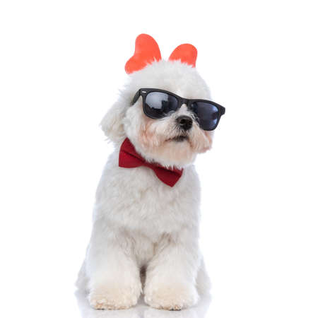 sweet bichon dog looking away, wearing cool sunglasses, butterfly headband and bowtie on white background