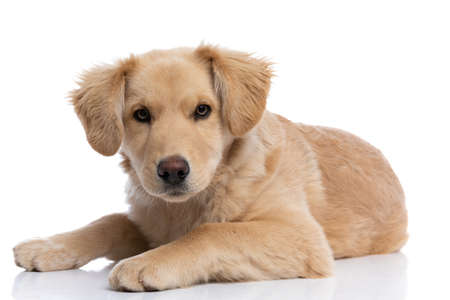 lovely golden retriever puppy on white background laying down in studio