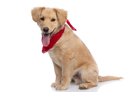 adorable small labrador puppy wearing red bandana, panting and sticking out tongue, sitting in a side view position on white background in studio