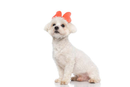 sweet bichon dog wearing a butterfly headband, sitting and looking away on white background Stock Photo
