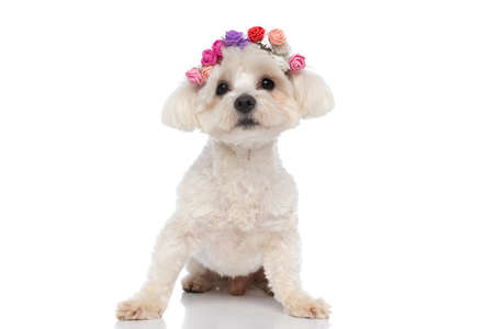 seated beautiful bichon dog wearing flowers and looking at the camera on white background
