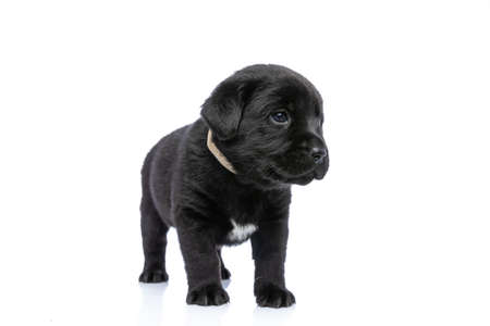 cute little labrador retriever puppy wearing collar, looking to side and standing isolated in studio on white background Stock Photo