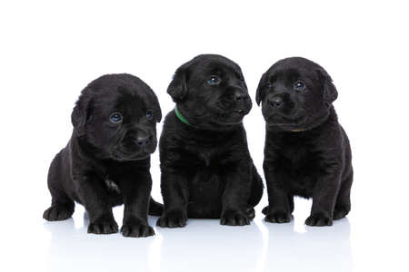 beautiful labrador retriever family wearing collar of different colours, looking to side and sitting isolated on white background in studio