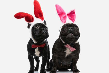 two beautiful french bulldog dogs with bunny ears dreaming and looking away against white background Stock Photo