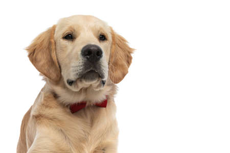 cute golden retriever dog just looking away and laying down, wearing a red bowtie