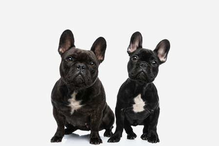 two french bulldog dogs tilting their heads while looking at the camera and sitting next to each other Stockfoto