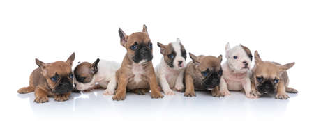 cute group of seven adorable french bulldog dogs looking to side, laying down and sitting isolated on white background in studio