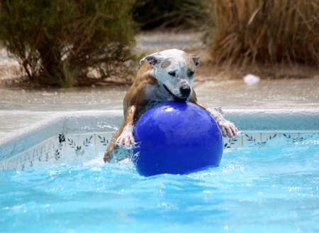 Dog jumping on top of her ball in the pool Stock Photo