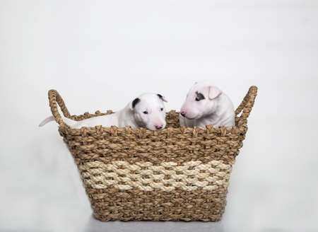 Two Bull Terrier Puppies in a basket
