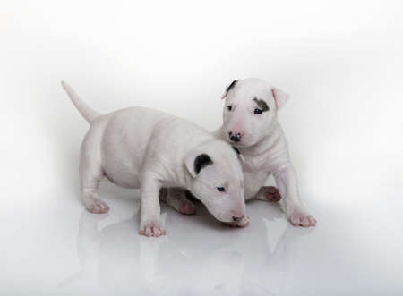 Two white bull terrier puppies