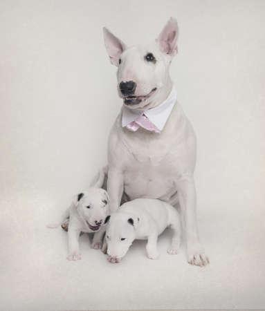 perros vestidos: Blanco madre Bull Terrier con sus cachorros