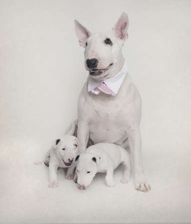 White Bull Terrier mom with her puppies Stock Photo