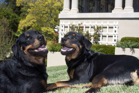 Two Rottweilers on the lawn