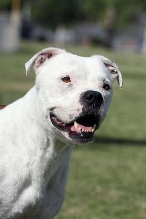 Smiling outdoor portrait of a white pitbull Imagens