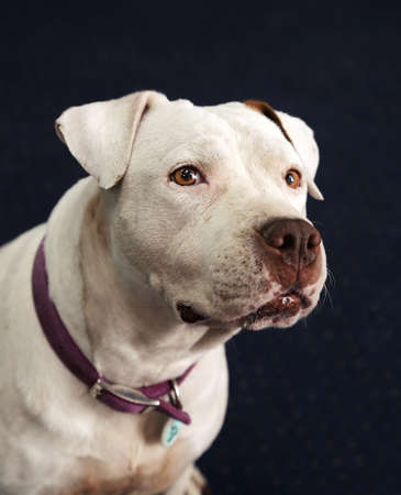 Head shot of a white pitbull mixed breed deaf and blind dog photo