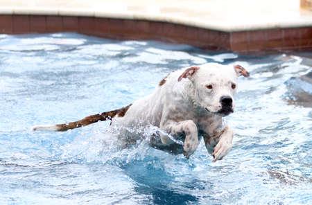 Witte hond springen in het zwembad Stockfoto