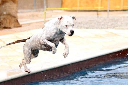 Witte pitbull springen in een zwembad