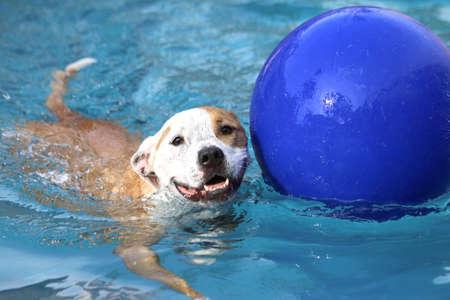Hond zwemmen met zijn bal Stockfoto