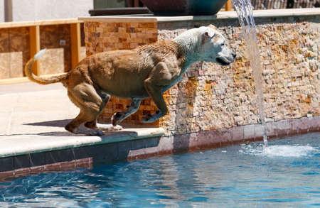 Hond aan de rand van het zwembad klaar om te springen
