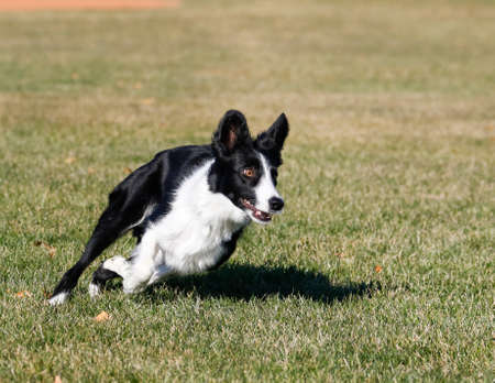 Dog playing at the park making a turn