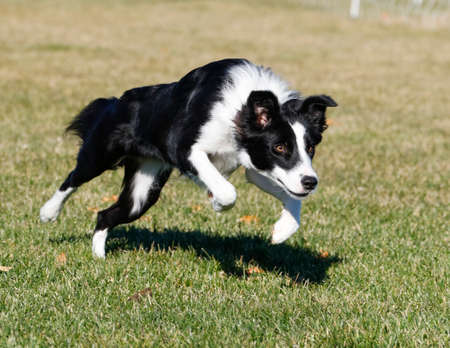 Border collie springen in het park Stockfoto
