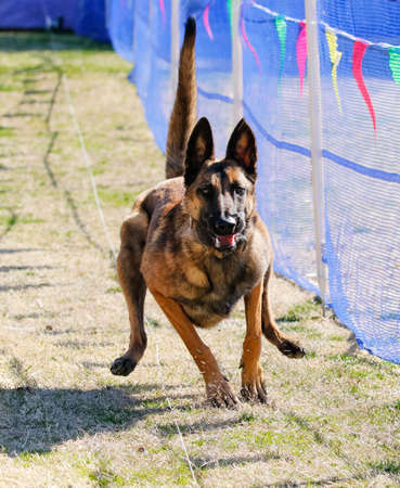 Belgian Malinois trying to catch a lure